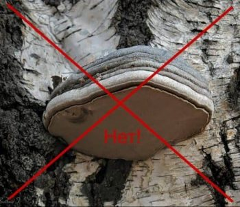 Ложный гриб — трутовик