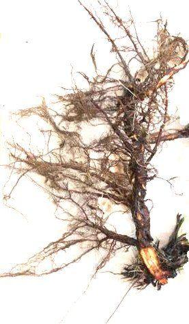 корень белой лапчатки