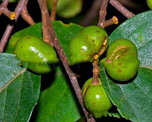 Экстракт пиджеума - африканской сливы