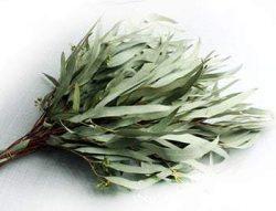 Чай из листьев эвкалипта
