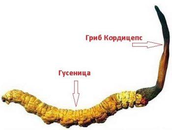 Гриб кордицепс (ярсагумбу)