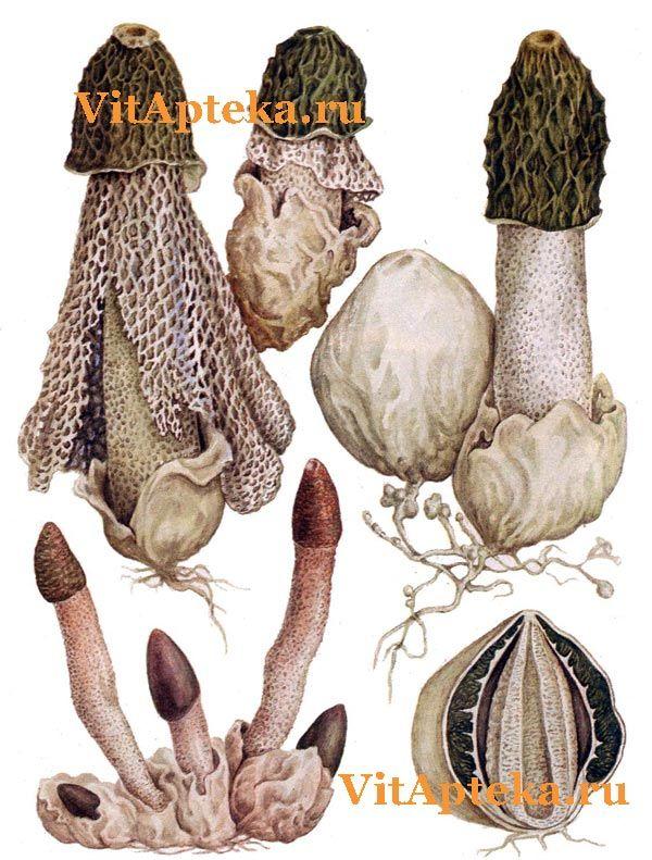 Фотография гриба веселки